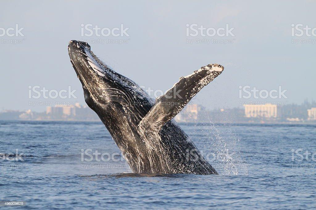 Humpback Whale Breach stock photo