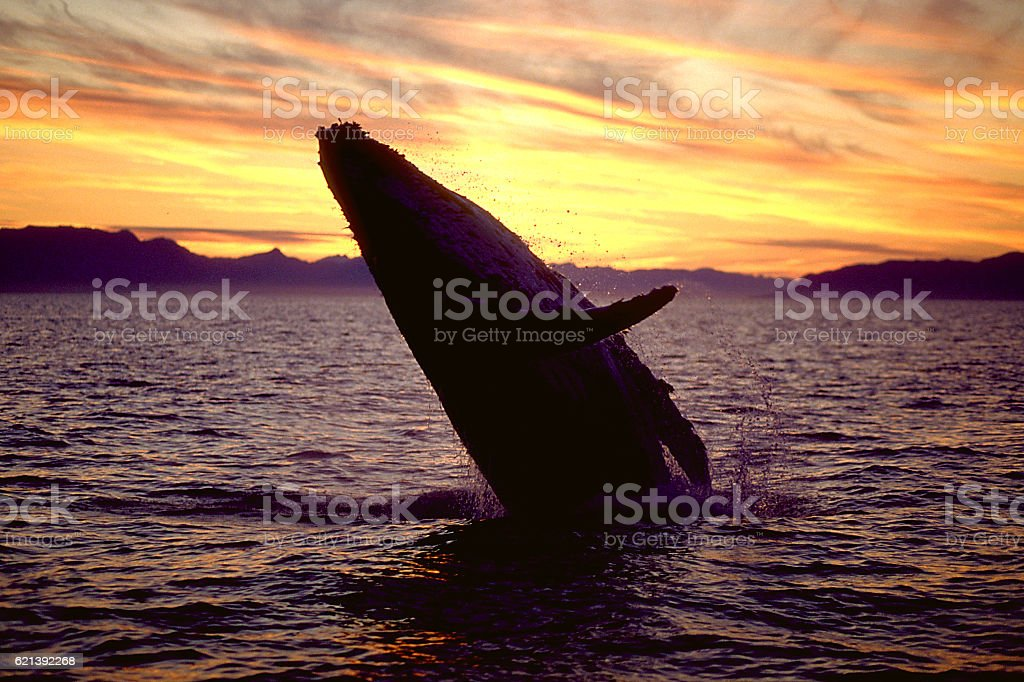 Humpback whale breaching at sunset stock photo