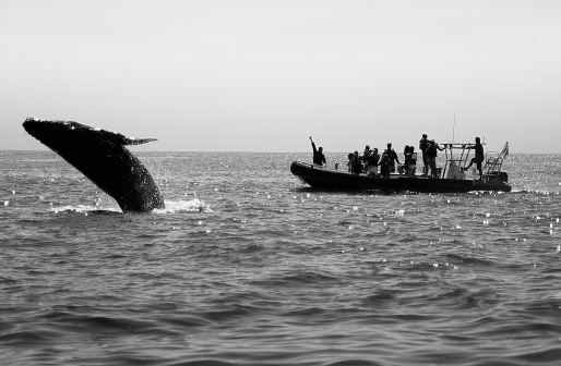 Humpback Whale Breaching Near Boat Stock Photo - Download Image Now