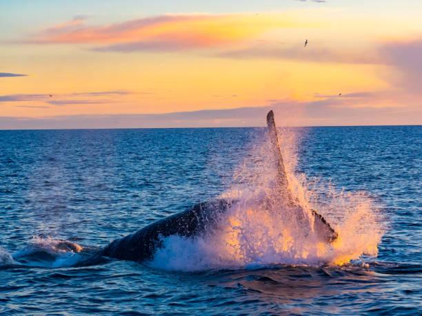 Buckelwal Verletzung aus Wasser im Morgenlicht – Foto