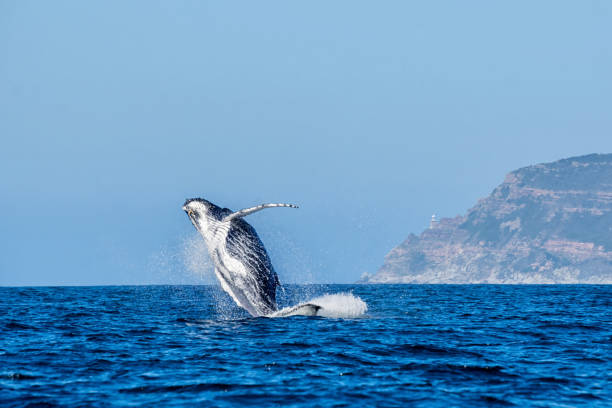 Humpback Whale Breaching A Humpback Whale breaching in front of Cape Point in False Bay, South Africa western cape province stock pictures, royalty-free photos & images
