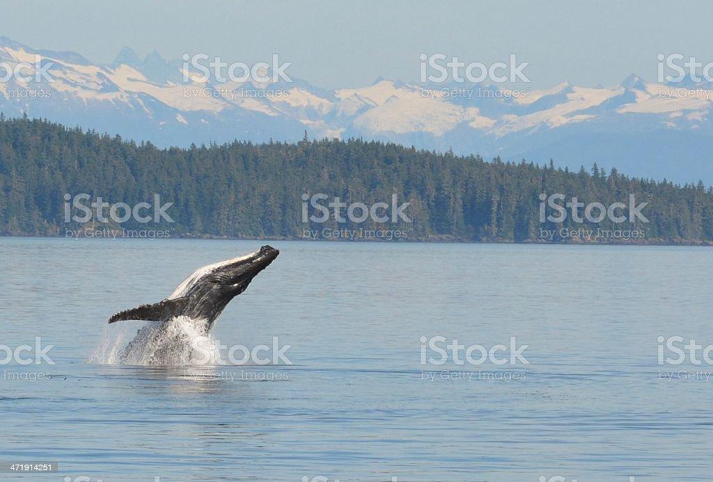 Humpback Whale Breaching stock photo