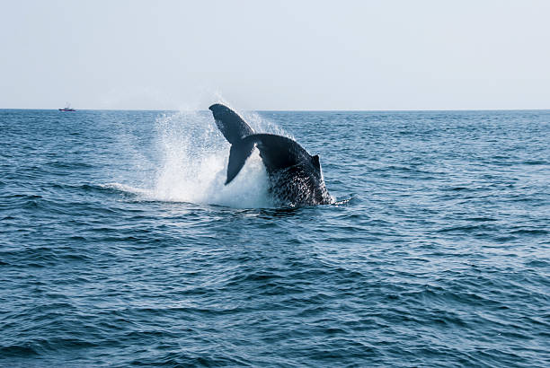 Humpback Whale Breaching Humpback whale plunging back into the Atlantic Ocean causing massive water splash gloucester massachusetts stock pictures, royalty-free photos & images
