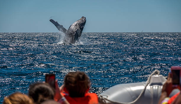 Humpback whale breaching A Humpback whale breaches in front of whale watching boats off Cabo San Lucas , Mexico whale stock pictures, royalty-free photos & images