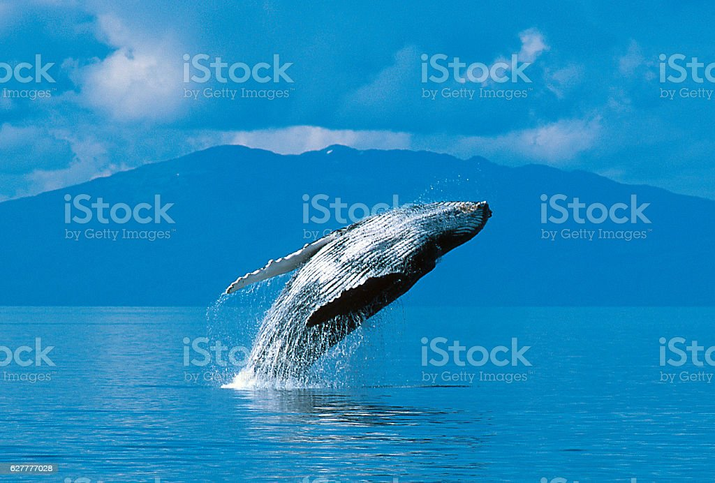 Humpback whale breaching stock photo