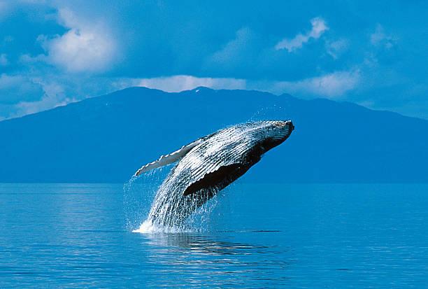 Humpback whale breaching Humpback whale breaching (Megaptera novaeangliae), Alaska, Southeast Alaska, near Frederick Sound, Copyright David Hoffmann whale stock pictures, royalty-free photos & images