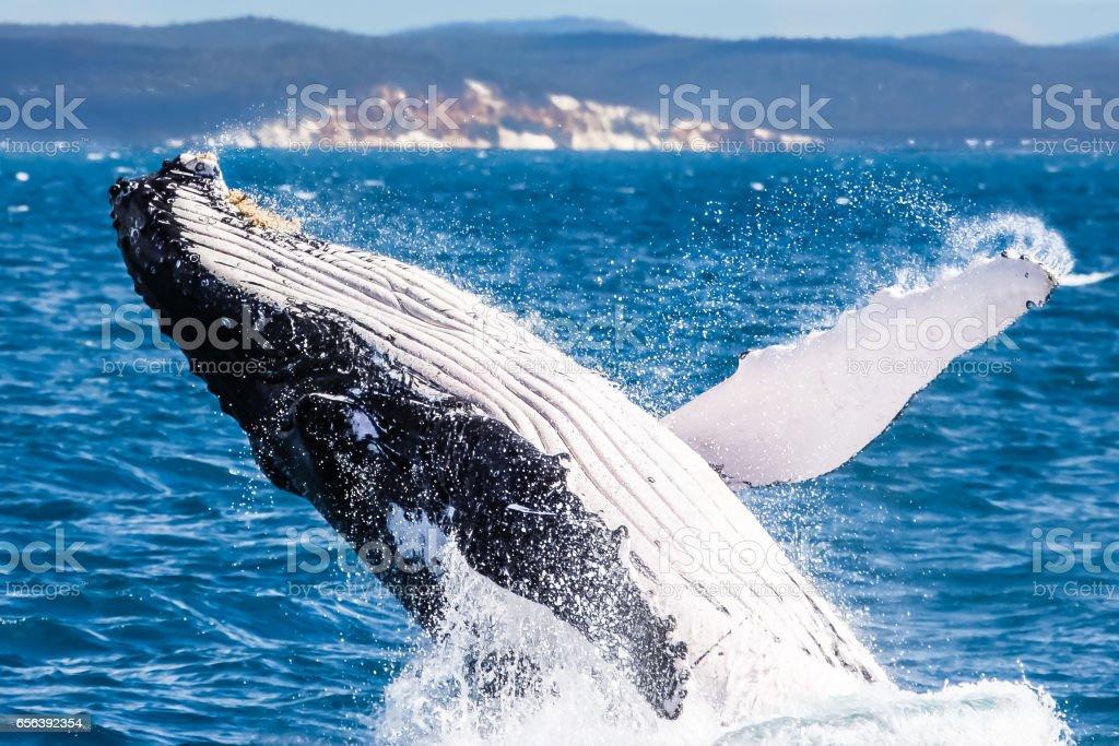 Humpback whale breaching – Foto