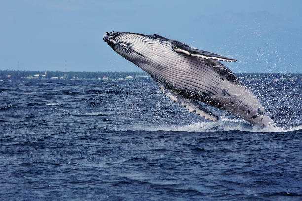 Baleine à bosse sortant de l'eau - Photo