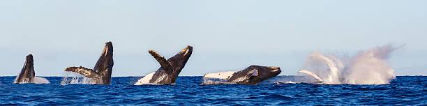 Baleine à bosse sortant de l