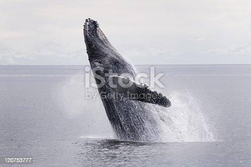 Humpback whale breaching in Frederick Sound Alaska. With a couple pumps of their powerful flukes these large mammals can power themselves up out of the water. The whale is exhaling through it's blowhole as it leaves the water. This is image 1 of a series of nine sequential shots of the same breach. At this point about 20 feet of the marine mammal is out of the ocean. These humpbacks are baleen whales which feed on herring and krill during the summer in Alaska. They migrate to the Hawaiian islands in winter to mate and give birth to their young.