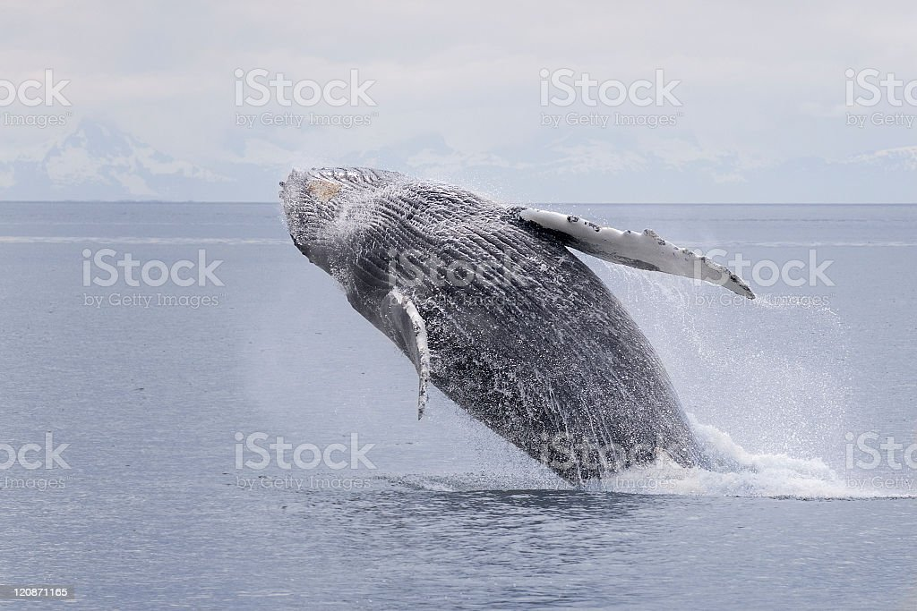 Humpback whale breaching series 4 of 9 Alaska stock photo