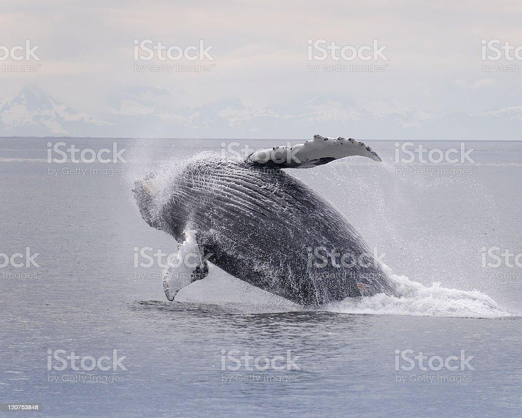 Humpback whale breaching series 5 of 9 Akaska stock photo