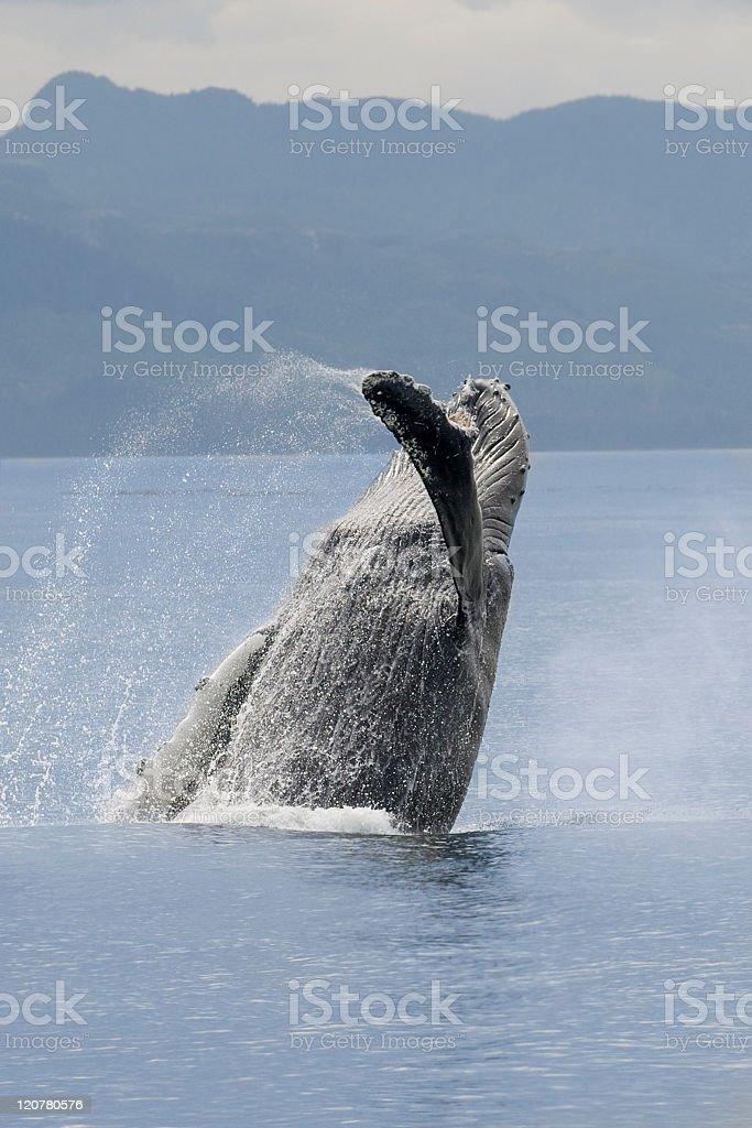 Humpback Whale Breaching vertical photo in Alaska stock photo