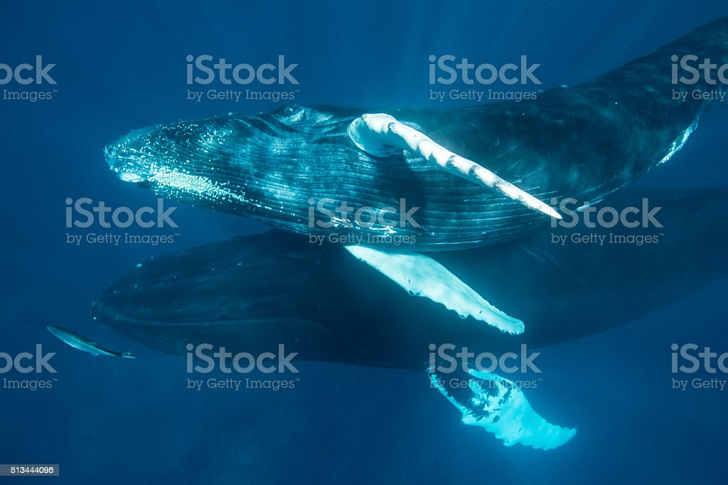 Humpback Whale Calf and Mother stock photo