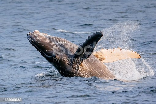 A humpback whale (Megaptera novaeangliae) calf breaches in the protected ocean waters of southeast Alaska near Sitka