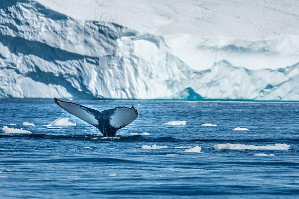 Humpback whale, Disko Bay, Greenland – Foto