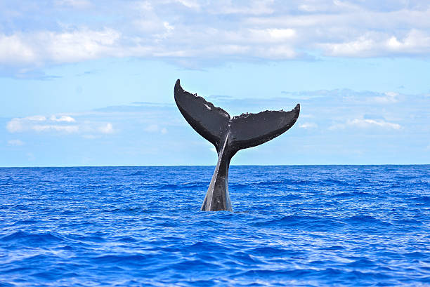 humpback whale diving - tail stock photos and pictures