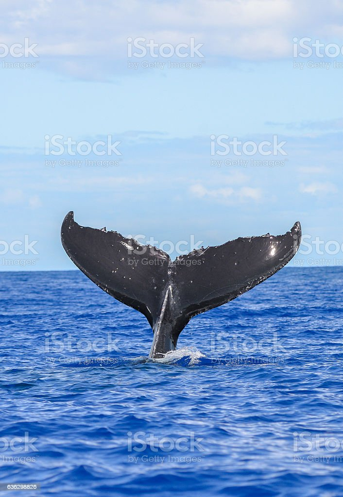 Humpback whale diving stock photo