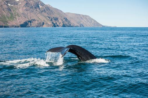 istock Humpback whale fin 469796495