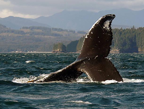 Humpback Whale Fluke Descending stock photo