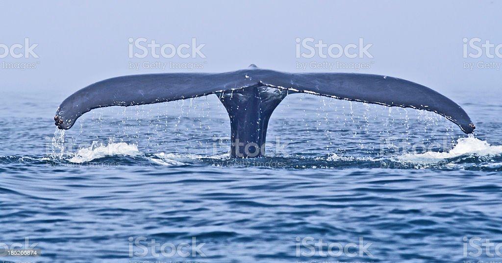 Humpback Whale (Megaptera novaeangliae) fluke stock photo