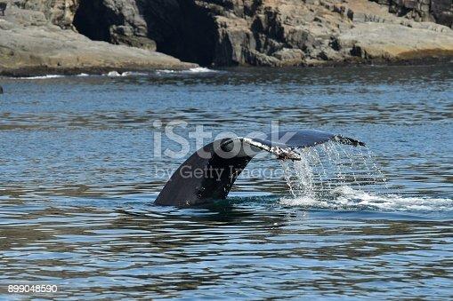 a Humpback dives to feed off the Bonavista peninsula, Newfoundland