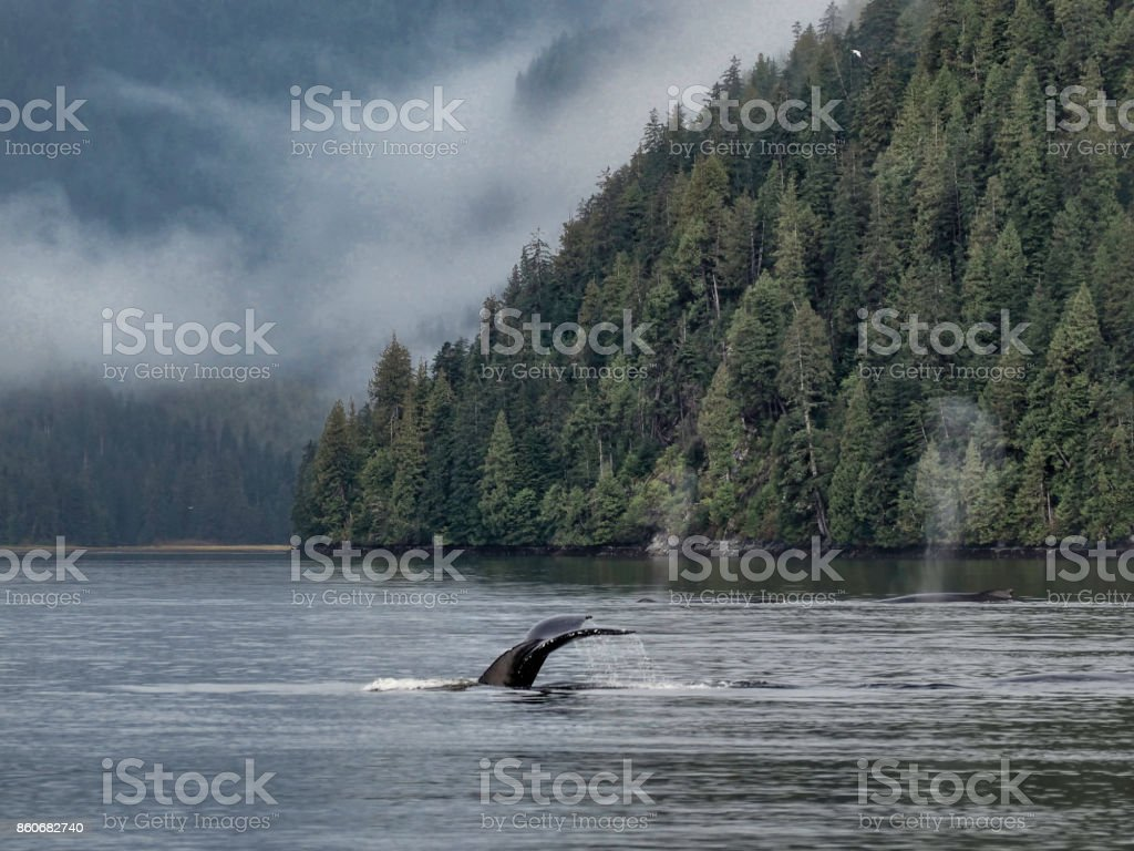 Humpback whale, Great Bear Rainforest stock photo