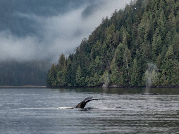 humpback whale, great bear rainforest - british columbia stock photos and pictures