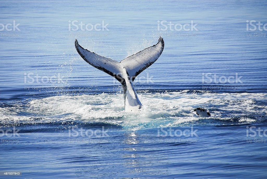 Humpback Whale in Hervey bay, Queensland (Australia) stock photo