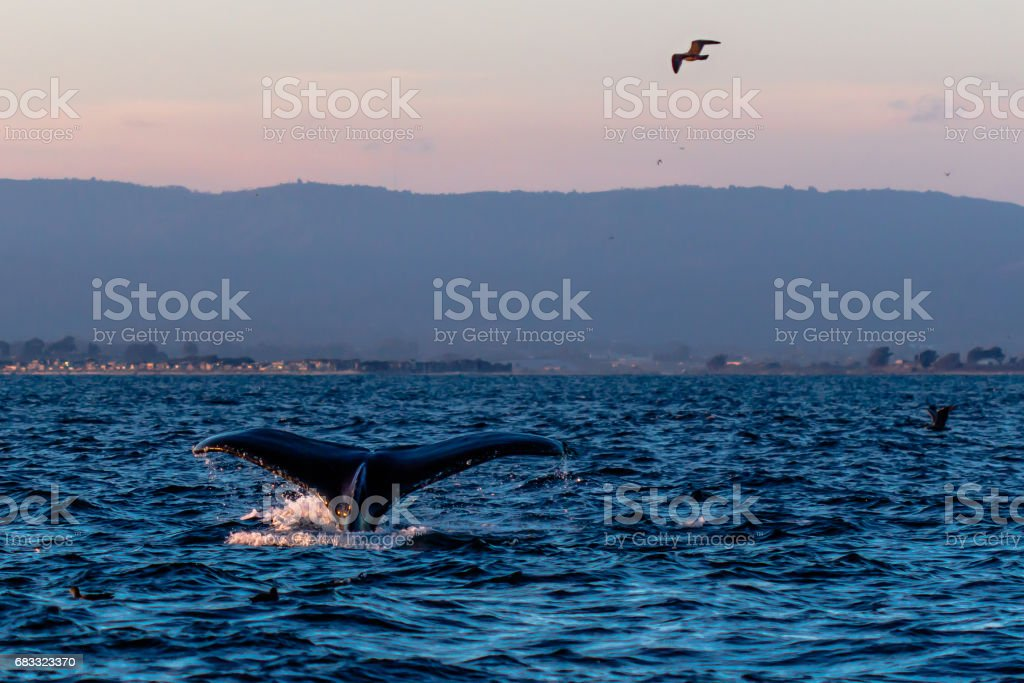 Humpback Whale in Monterey, California stock photo
