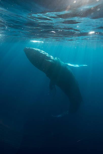 Baleine à bosse dans la lumière du soleil - Photo