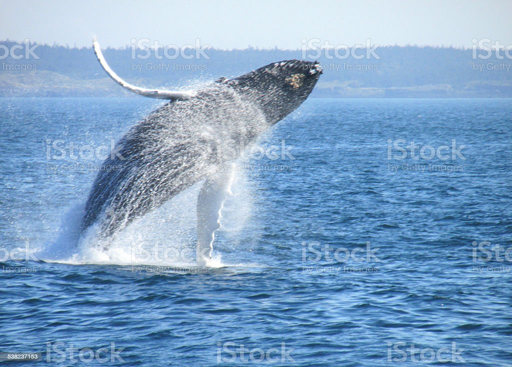 Humpback Whale in the Bay of Fundy stock photo