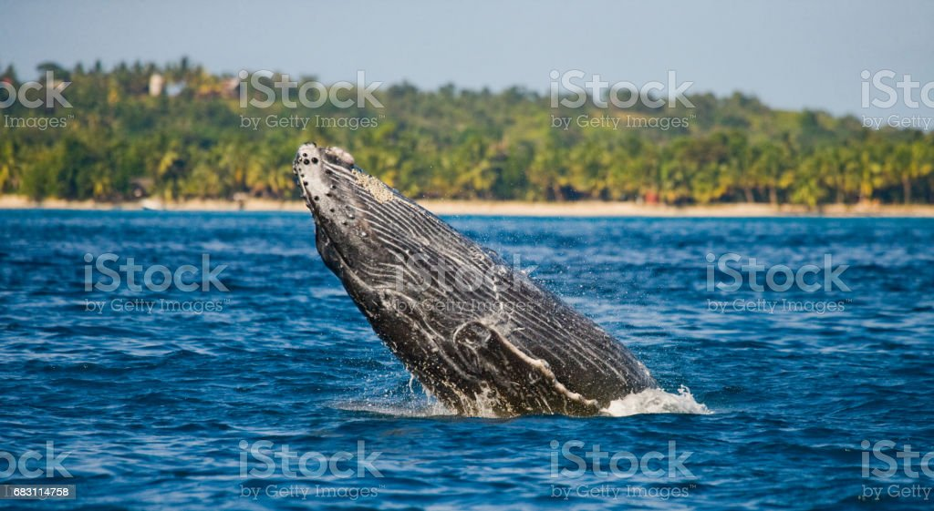 Humpback whale in the water. stock photo