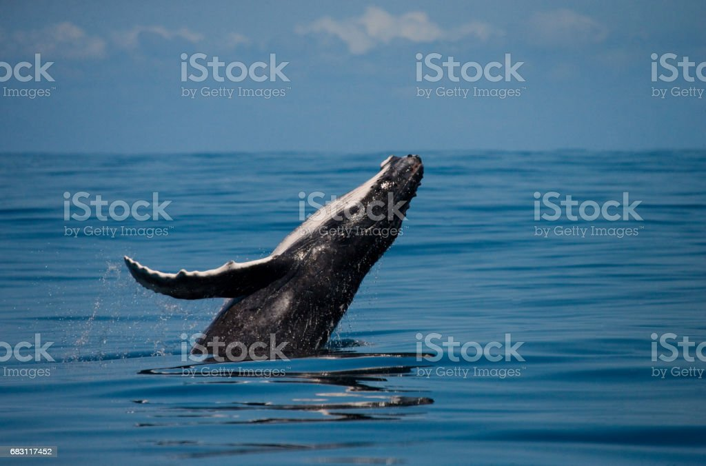 Humpback whale in the water. - foto de stock