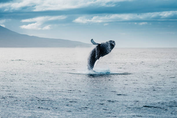 salto della megattera durante whale watching  in islanda - della stock pictures, royalty-free photos & images