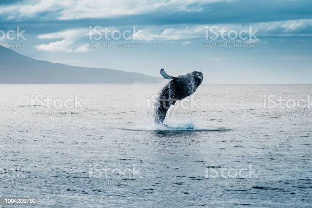 Salto Della Megattera Durante Whale Watching In Islanda Stock Photo - Download Image Now