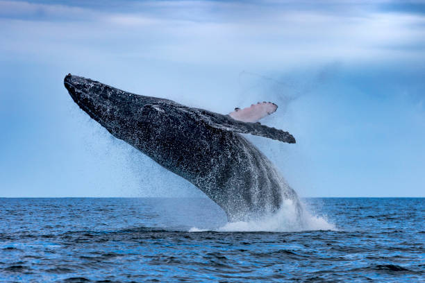 Humpback (Megaptera novaeangliae) .Whale jumping out of the water. Madagascar. St. Mary`s Island. stock photo