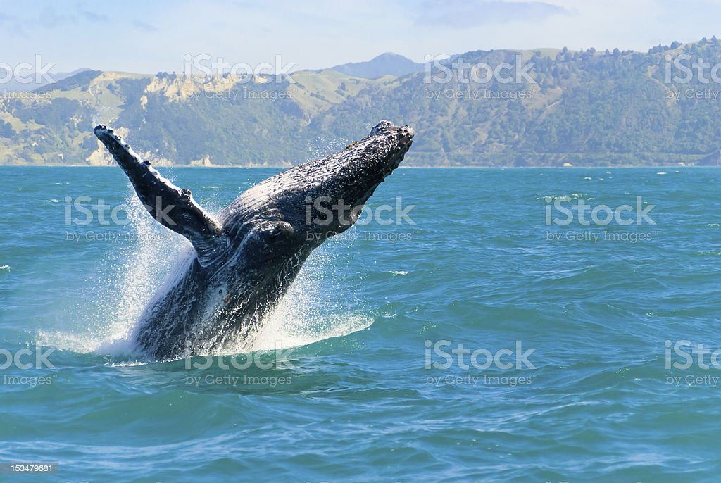 Humpback Whale Jumping Out Of The Water stock photo