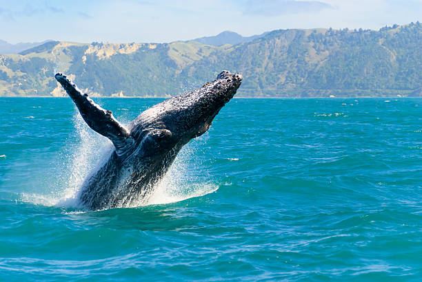 Humpback Whale Jumping Out Of The Water Massive humpback whale playing in water captured from Whale whatching boat whale stock pictures, royalty-free photos & images