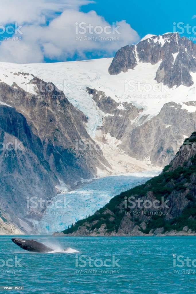 Humpback Whale Jumping Out of Water in Front of Glacier in Alaska stock photo