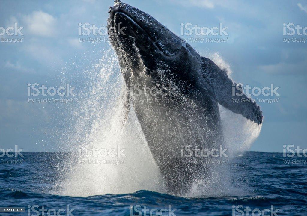 Ballena jorobada salta fuera del agua. - foto de stock