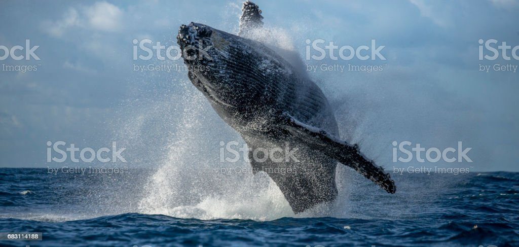 Humpback whale jumps out of the water. - foto de stock