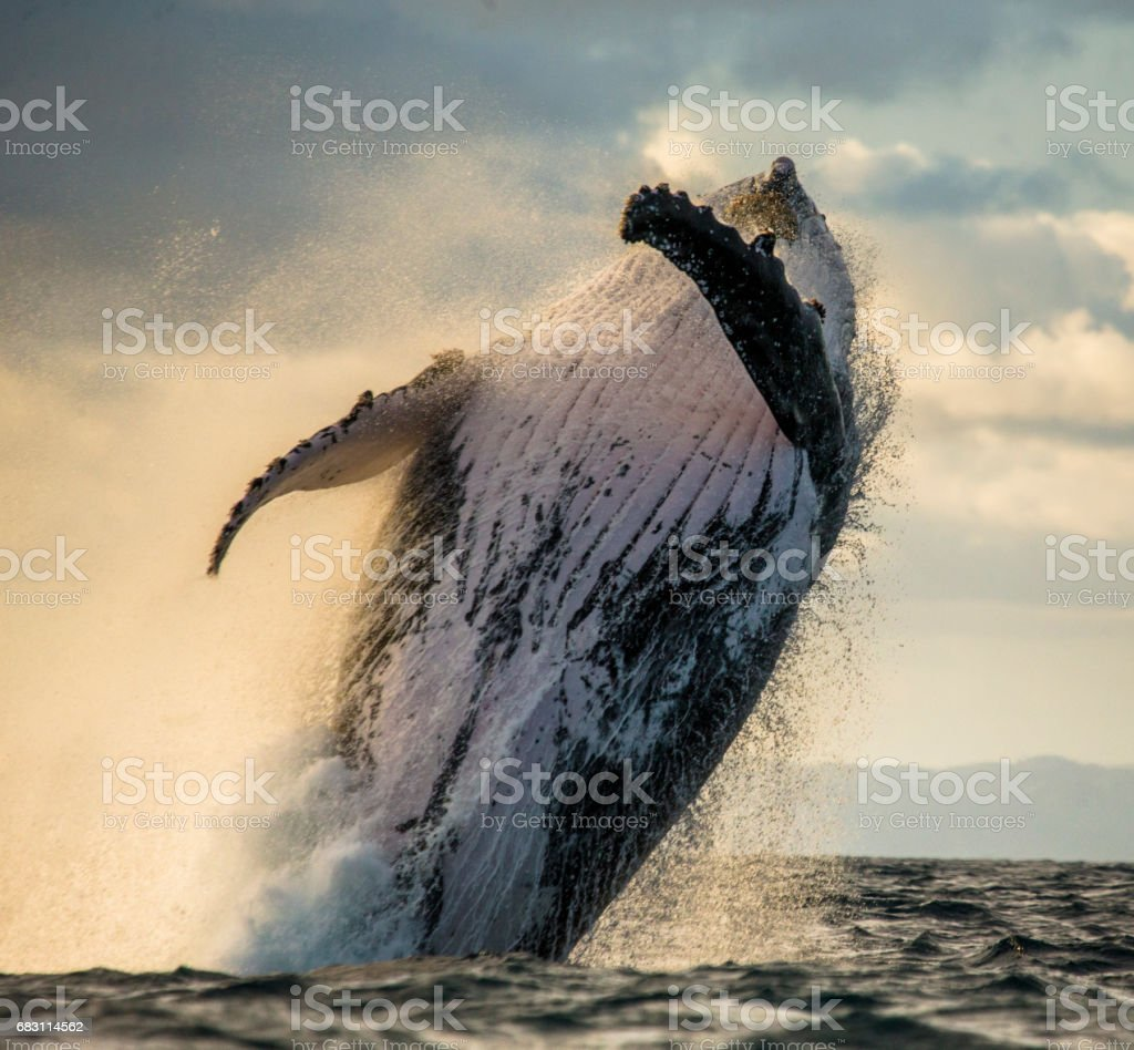 Humpback whale jumps out of the water. stock photo