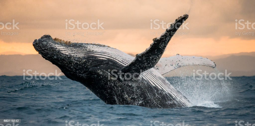 Humpback whale jumps out of the water. royalty-free stock photo