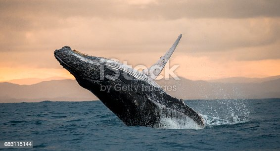Humpback Whale Jumps Out Of The Water Stock Photo & More Pictures of Animal