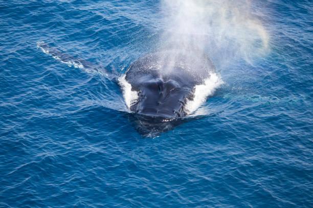 Baleine à bosse, Kimberley, Australie-occidentale - Photo