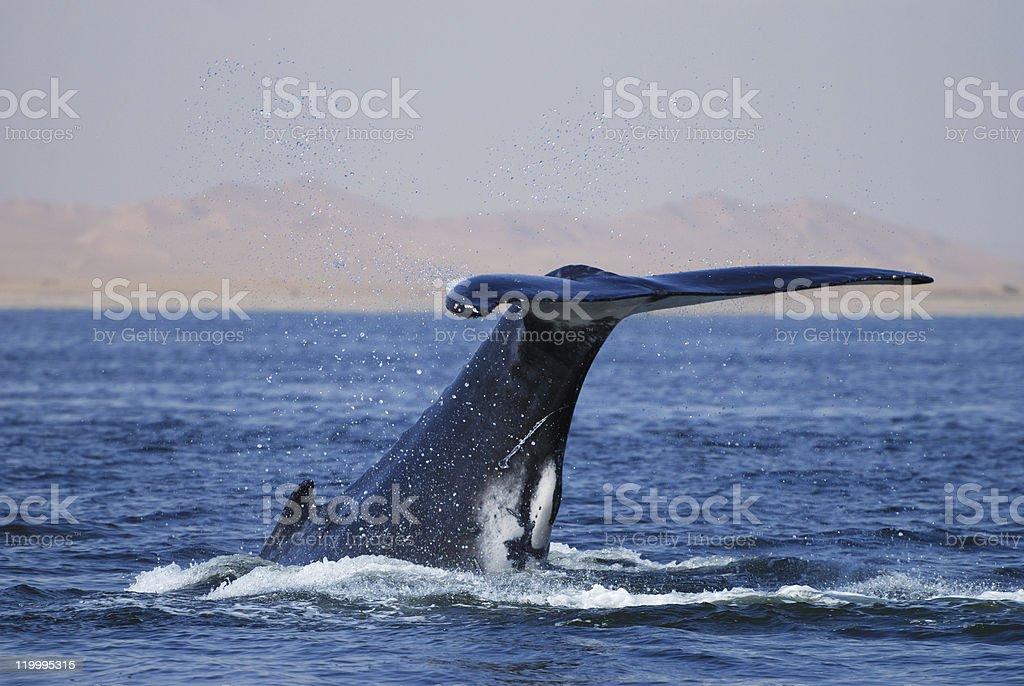 Humpback Whale, Megaptera novaeangliae, Namibia stock photo