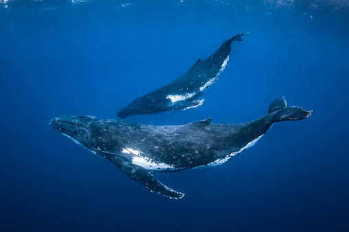 Humpback whale mother and calf swimming in clear blue ocean
