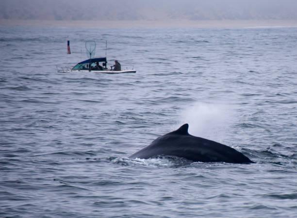 Humpback Whale Off Coast Of Monterey stock photo