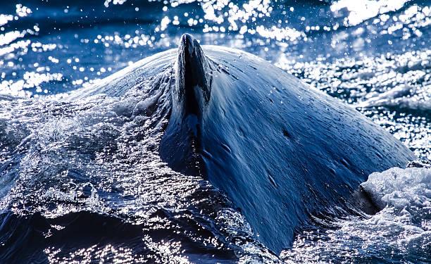 Buckelwal beim Auftauchen – Foto